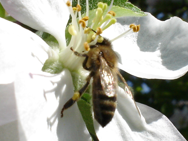 Picture: Honey Bee