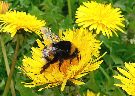 Picture: Tri-Coloured Bumblebee