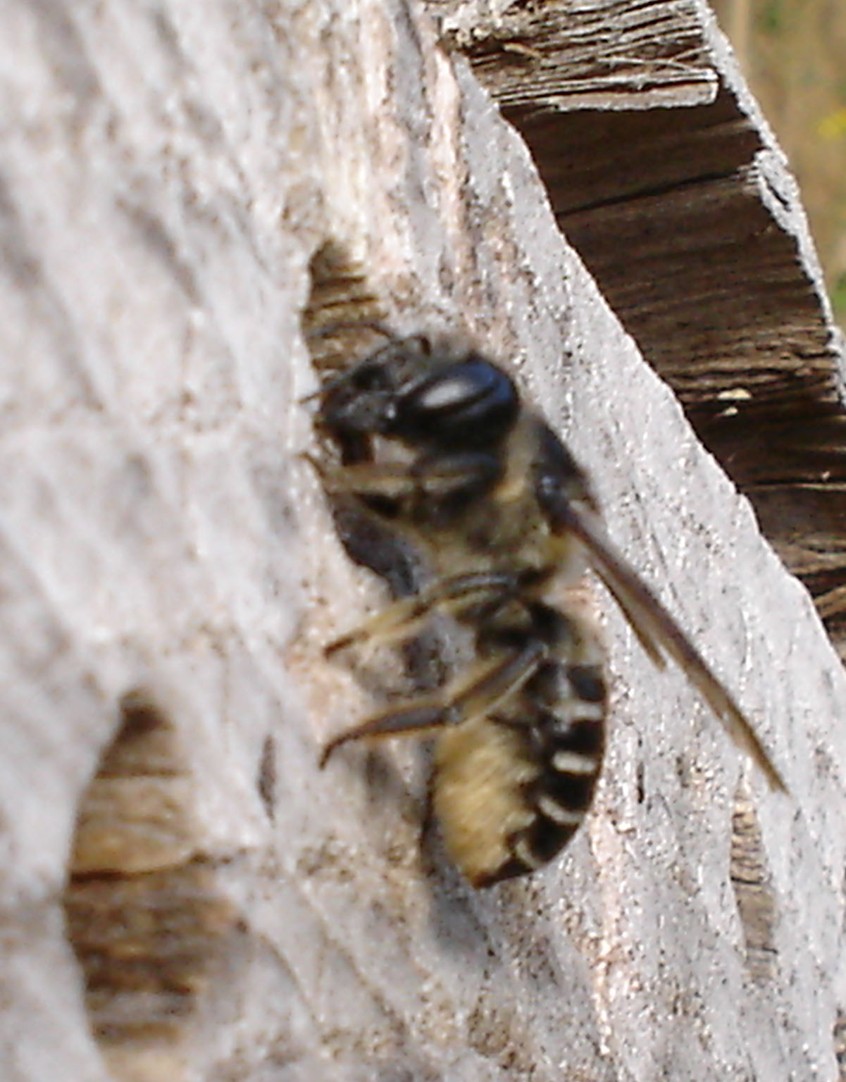 Picture: Leafcutter Bee